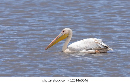 Great White Pelican (Pelecanus onocrotalus) swimming