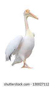 Great white pelican  (Pelecanus onocrotalus) on a white background.