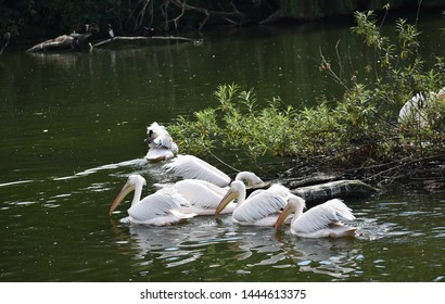 The great white pelican (Pelecanus Onocrotalus) also known as the eastern white pelican, rosy pelican or white pelican, is a large water   bird in the family Pelecanidae. A group of pelicans on water.