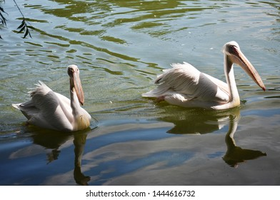 The great white pelican (Pelecanus Onocrotalus) also known as the eastern white pelican, rosy pelican or white pelican, is a large water   bird in the family Pelecanidae. Two pelicans on water.