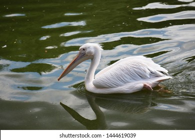The great white pelican (Pelecanus Onocrotalus) on water, also known as the eastern white pelican, rosy pelican or white pelican, is a large water bird in the family Pelecanidae.
