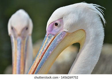 Great White Pelican (Pelecanus onocrotalus )