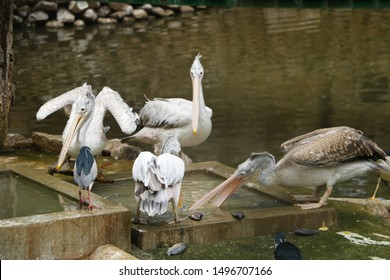 The great white pelican (Pelecanus Onocrotalus) also known as the eastern white pelican, rosy pelican or white pelican,Big birds, birds drinking water