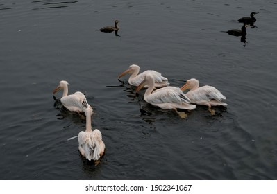 The great white pelican Pelecanus Onocrotalus also known as the eastern white pelican, rosy pelican or white pelican,Big birds, birds drinking water avifauna, netherlands