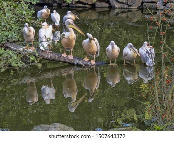 Great White Pelican, Pelecanus onocrotalus, sitting on water and silhouettes reflected in water