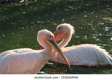 The great white pelican (Pelecanus Onocrotalus) also known as the eastern white pelican, rosy pelican or white pelican, is a large water bird in the family Pelecanidae. Two pelicans on water