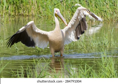 Great white pelican (Pelecanus onocrotalus) is walking in the water