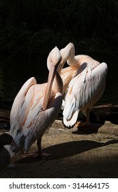 Great White Pelican, Pelecanus onocrotalus, preening their feathers