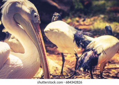 Great white pelican (Pelecanus onocrotalus) also known as the eastern white pelican, rosy pelican or white pelican