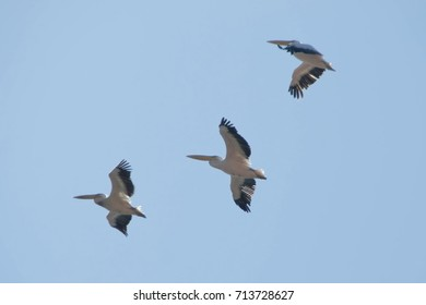 Great white pelican, Pelecanus onocrotalus, eastern white pelican, rosy pelican or white pelican. Large water birds with long beaks and a large throat pouch in flight against blue sky.