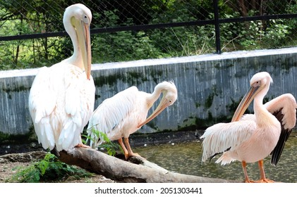 The great white pelican (Pelicans onocrotalus) also known as the eastern white, rosy or white pelican is a bird in the pelican family. Pelicans standing different poses on background in the wall