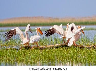 Great White Pelican, Sacalin, Romania