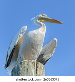 Great white Pelican sitting on the post - Namibia, South Africa