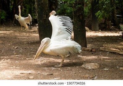 Great white pelican spreading wings in a zoo. Pelecanus onocrotalus.