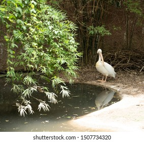 Great white pelican standing next to a pond. Pelecanus onocrotalus.