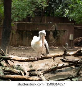 Great white pelican standing on branches. Pelican clean feathers itself. Pelecanus onocrotalus.
