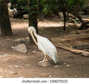 Great white pelican in a zoo. Pelecanus onocrotalus.