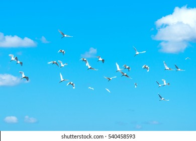 Great White Pelicans blue sky background and white cloud.