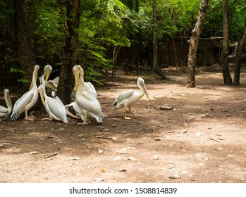 Great white pelicans clean feathers themselves. Pelecanus onocrotalus.