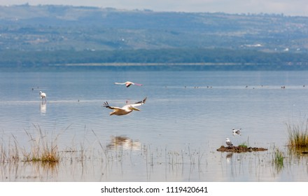 Great white pelicans in Lake Nakuru National Park - Kenya, Africa. The Great White Pelican (Pelecanus onocrotalus) is also known as the Eastern White Pelican, Rosy Pelican or White Pelican