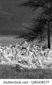 Great white pelicans in Lake Nakuru National Park - Kenya, Africa.