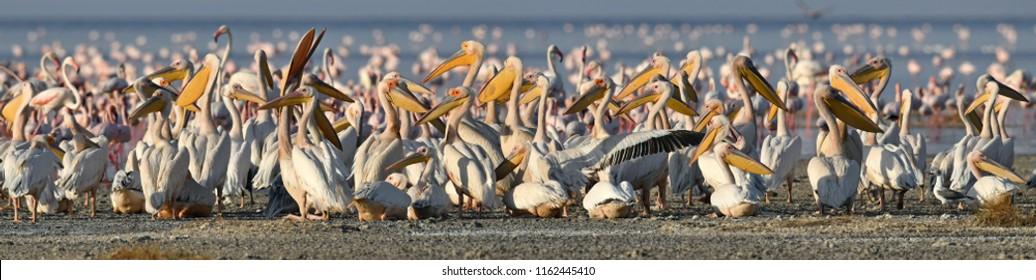 Great White Pelicans on the shore of Natron lake. Scientific name: Pelecanus onocrotalus. Lake Natron. Tanzania.