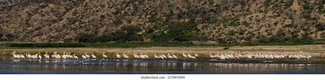 Great White Pelicans on the shore of Natron lake. Scientific name: Pelecanus onocrotalus.Panorama of Natron Lake. Tanzania.