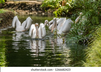 Great white pelicans, Pelecanus onocrotalus, swimming in pond