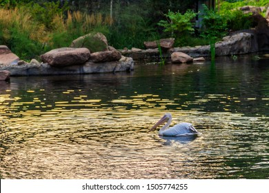 Great white pelicans (Pelecanus onocrotalus) also known as the eastern white pelican, rosy pelican or white pelican swimming in a lake