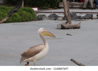 Great white pelicans (scientific name: Pelecanus onocrotalus) also known as the eastern white pelican, rosy pelican or white pelican