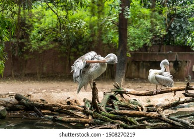Great white pelicans standing on branches. Pelicans clean feathers themselves. Pelecanus onocrotalus.