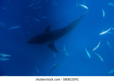 Great white shark from above in the Neptune Islands off Port Lincoln, South Australia.