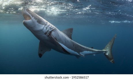Great White Shark Attacking In The Sea