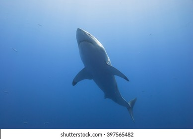Great white shark from below in clear blue water.