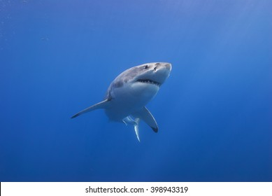 Great white shark from below head-on in clear blue water.