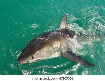 Great White Shark breaks the surface
