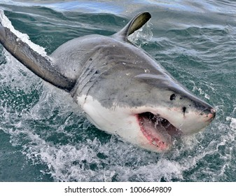 Great white shark, Carcharodon carcharias, with open mouth. False Bay, South Africa, Atlantic Ocean