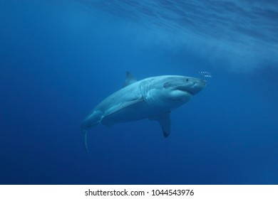 great white shark, Carcharodon carcharias, with pilot fish, Naucrates ductor, Isla Guadalupe, Mexico, Pacific Ocean