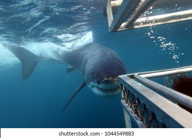 great white shark, Carcharodon carcharias, approaching the cage, Neptune Islands, South Australia, Indian Ocean