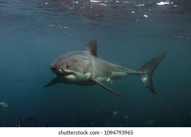 great white shark, Carcharodon carcharias, Neptune Islands, South Australia, Indian Ocean
