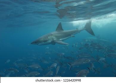 great white shark, Carcharodon carcharias, and silver trevallies, Pseudocaranx georgianus, Neptune Islands, South Australia, Indian Ocean