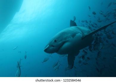 great white shark, Carcharodon carcharias, accompanied by silver trevallies, Pseudocaranx georgianus, Neptune Islands, South Australia, Indian Ocean