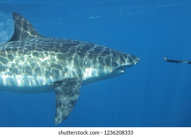 great white shark, Carcharodon carcharias, being filmed, Isla Guadalupe, Mexico, Pacific Ocean