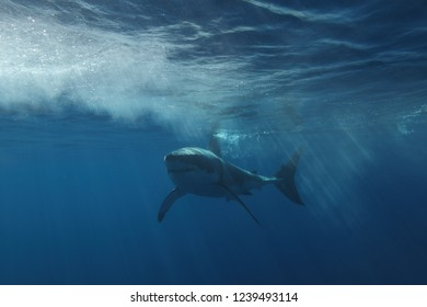 great white shark, Carcharodon carcharias, swimming at surface, Isla Guadalupe, Mexico, Pacific Ocean