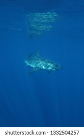 great white shark, Carcharodon carcharias, Isla Guadalupe, Mexico, Pacific Ocean