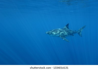 great white shark, Carcharodon carcharias,