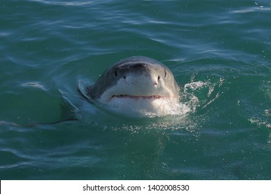 great white shark, Carcharodon carcharias, False Bay, South Africa, Atlantic Ocean