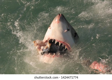 great white shark, Carcharodon carcharias, taking the bait off Mossel Bay, South Africa, Indian Ocean