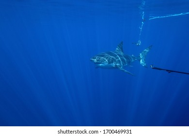 great white shark, Carcharodon carcharias, being filmed while swimming near the surface and passing by the bait, Isla Guadalupe, Mexico, Pacific Ocean
