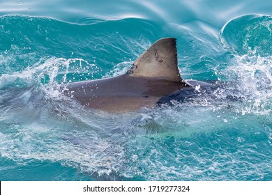 Great white shark (Carcharodon carcharias) Gansbaay, Republic of South Africa